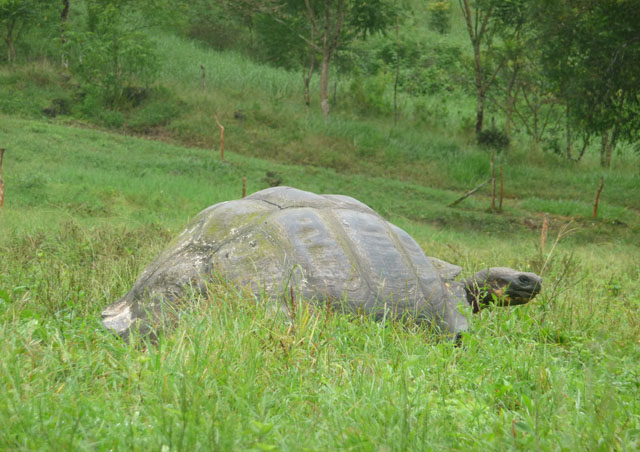 And just what kind of Galapagos slideshow doesn't have a photo of a Giant Tortoise? Although not shown here, it may interest you to know that after 25 years of trying, Lonesome George is finally mating.