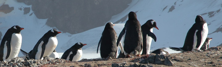 Gentoo penguin colony, Antarctic Peninsula